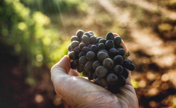 Variedades de uva de la DO Tierra de León