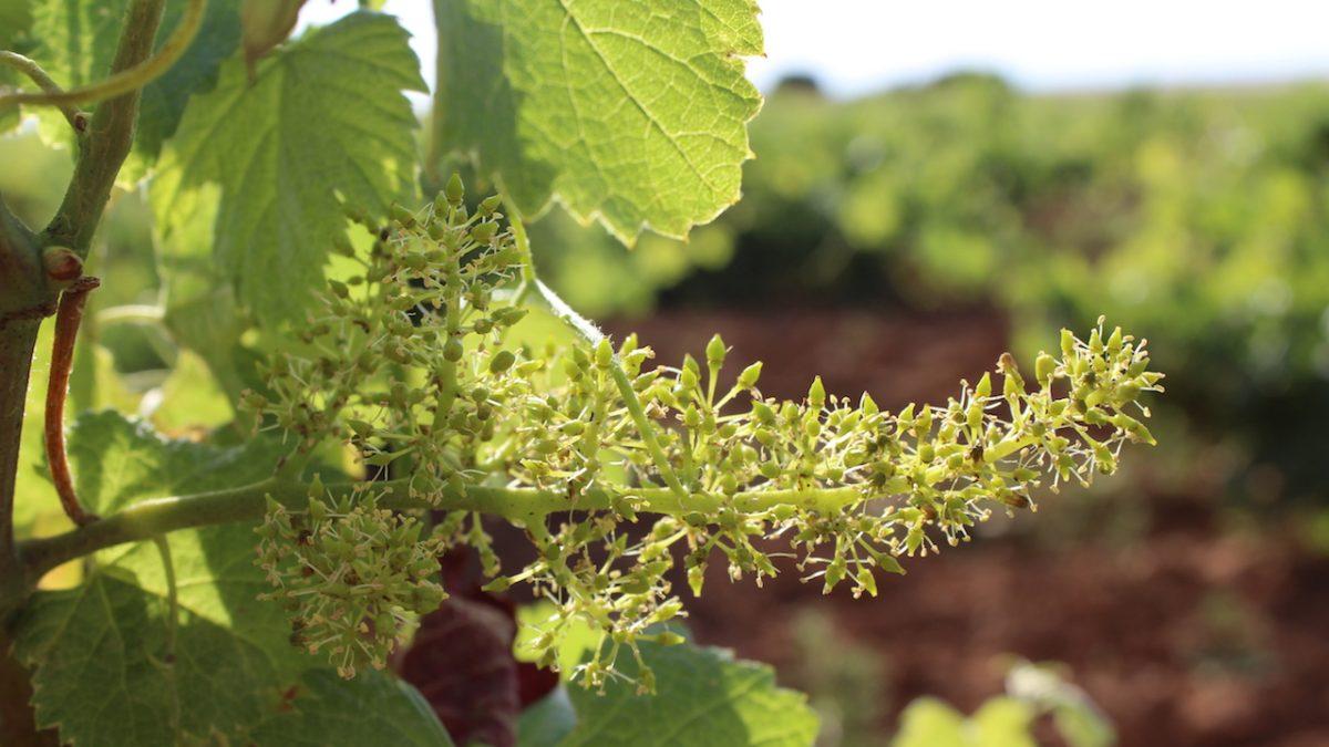 El calor y el color transforman el viñedo