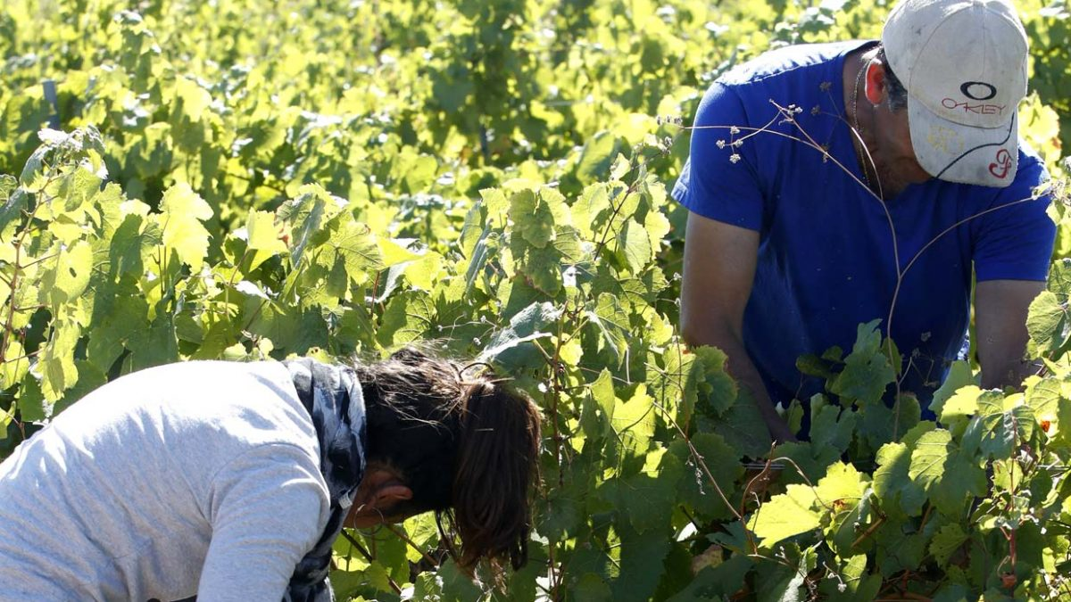 DO León closes the harvest with more than 3.7 million kilos of qualified grape