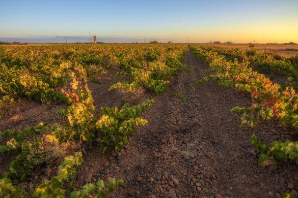 La DO conservará el viñedo viejo