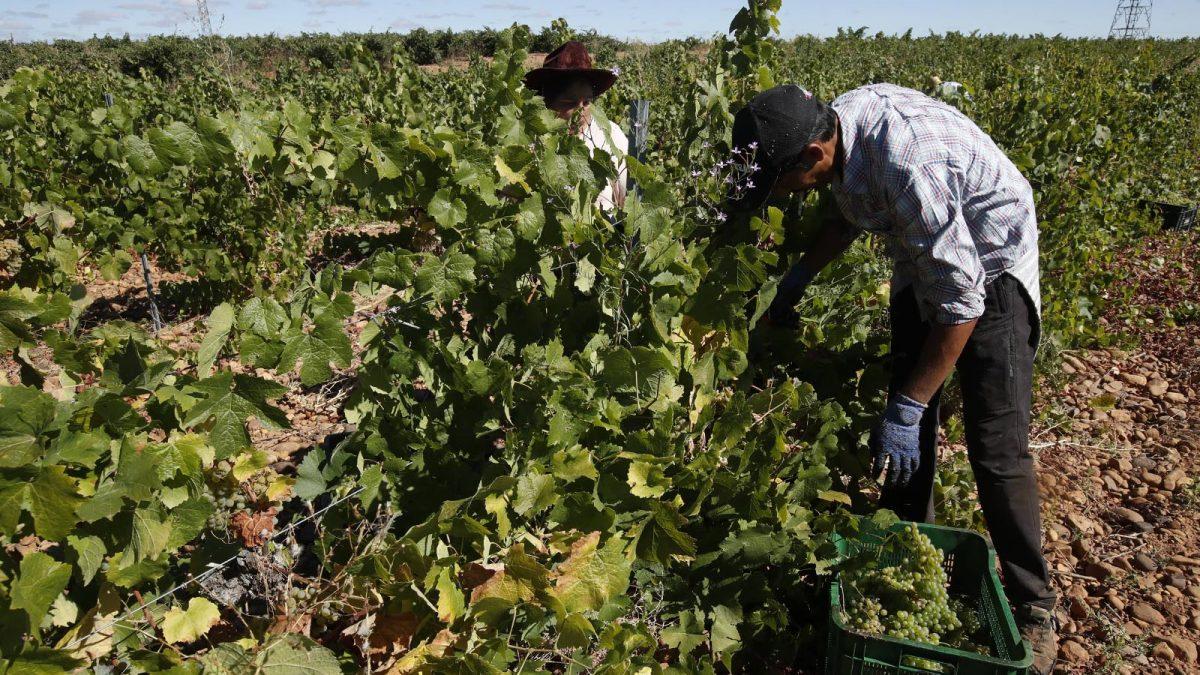 La DO León acaba la vendimia con casi 3,5 millones de kilos de uva calificada