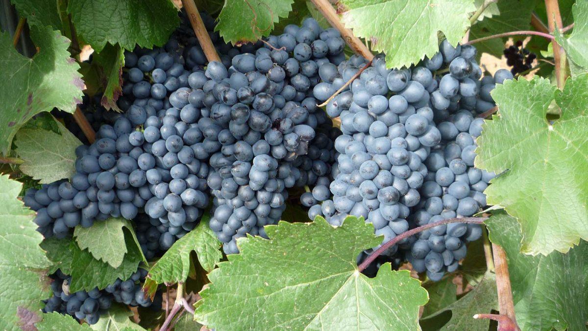 La DO León acaba la vendimia con 2,8 millones de kilos de uva calificada